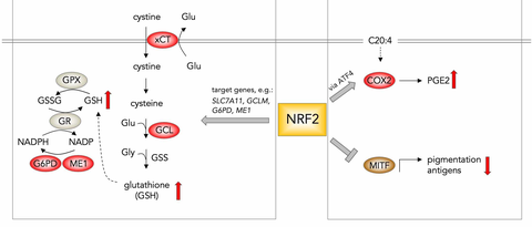 The dual role of NRF2 in regulating antioxidant and immune-evasive features